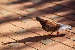 Taube, die auf den Bürgersteig geht Stockfoto