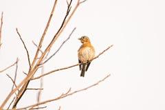 Taube, die auf einem Baumast badet in der Sonne sitzt Lizenzfreies Stockbild