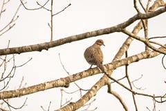 Taube, die auf einem Baumast badet in der Sonne sitzt Lizenzfreies Stockfoto