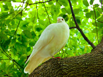 Taube, die auf einem Baumast roosting ist Stockbilder