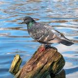 Taube, die auf einem Klotz sitzt Stockbild