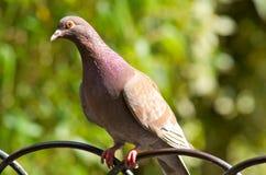 Taube, die auf einem Zaun sitzt Lizenzfreie Stockbilder