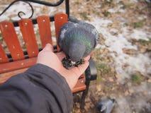Taube, die auf einer menschlichen Hand sitzt Lizenzfreie Stockfotos