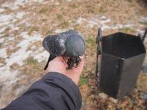 Taube, die auf einer menschlichen Hand sitzt Stockfotografie