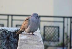Taube, die auf einer Wand sitzt Stockfoto