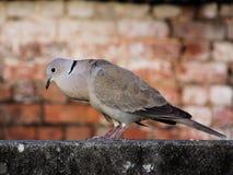 Taube, die auf einer Wand sitzt Stockbild