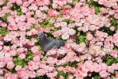 Taube, die auf rosafarbenen Blumen sitzt Lizenzfreie Stockbilder