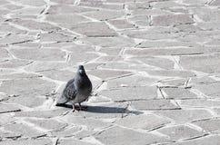 Taube, Taube, die auf Steinpflasterung steht Lizenzfreie Stockbilder
