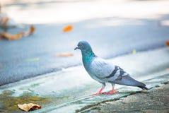 Taube, die auf die Straße geht lizenzfreies stockbild
