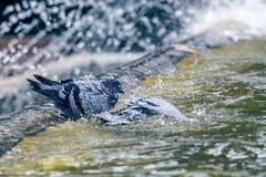 Taube, die Bad im Brunnen bei Tivoli 2 hat Lizenzfreie Stockfotografie