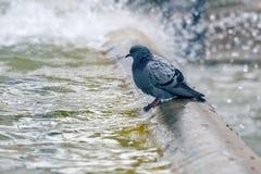 Taube, die im Brunnen 2 badet Lizenzfreie Stockbilder