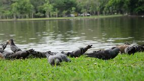 Taube, die Lebensmittel isst stock video footage