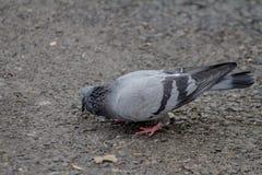 Taube, die nach Lebensmittel aus den Grund sucht Stockfotografie