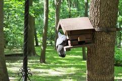 Taube, die nach Lebensmittel in einer Krippe auf dem Baum sucht lizenzfreies stockbild