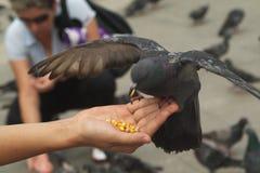 Taube, die von der Hand isst Stockbild