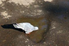 Taube, die von einer Pfütze trinkt stockfotos