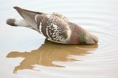 Taube, die von einer Pfütze trinkt Reflexion im Wasser Lizenzfreie Stockbilder