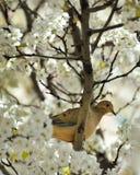 Taube in einem blühenden Kirschbaum Stockbilder