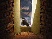 Taube in einem Fenster Stockbild