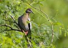 Taube in einem Süßhülsenbaum Lizenzfreies Stockfoto