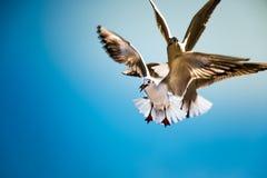 Taube fliegen in die Luft mit den Flügeln, die über blauem Himmel breit sind Lizenzfreie Stockfotos