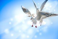Taube fliegen in die Luft mit den Flügeln, die über blauem Himmel breit sind Stockfotos