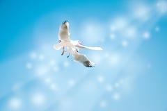 Taube fliegen in die Luft mit den Flügeln, die über blauem Himmel breit sind Lizenzfreie Stockbilder