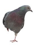 taube Graues Taube Schießen Stockbild