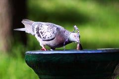 Taube im Brunnen Stockbild