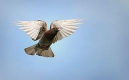 Taube im Flug Lizenzfreie Stockbilder