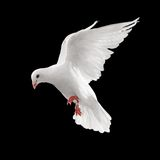 Taube im Flug Lizenzfreie Stockfotografie