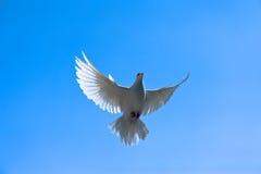 Taube im Himmel Stockfotografie
