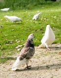 Taube im Park Stockfoto
