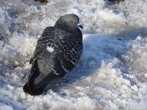 Taube im Schnee Lizenzfreie Stockfotografie