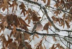 Taube im Schnee (1) Stockfoto