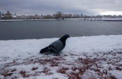 Taube im Schnee im Winterpark Lizenzfreies Stockfoto