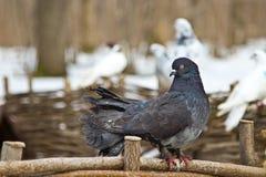 Taube im Stadtpark im Winter Stockfoto
