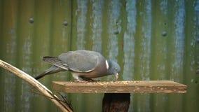 Taube isst Korn weg von der Vogel-Tabelle stock video footage