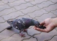 Taube isst mit seiner Hand Stockfotos