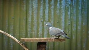 Taube landet auf Vogel-Tabelle und isst Korn stock footage