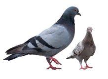 Taube lokalisiert auf Weiß Stockfotografie