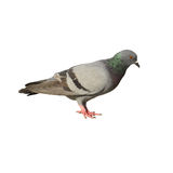 Taube lokalisiert auf weißem Hintergrund lizenzfreie stockbilder