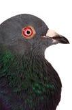 Taube - Makroportrait stockbild