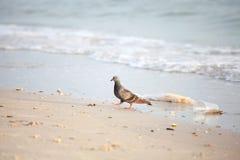 Taube mit Abfall auf dem Strand Lizenzfreie Stockfotografie