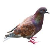 Taube mit der braunen Farbe stockbilder