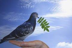 Taube mit grünem Zweig Lizenzfreie Stockfotos