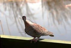 Taube mit Stock Stockbild