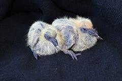 Taube mit zwei kleine Küken Lizenzfreie Stockfotos