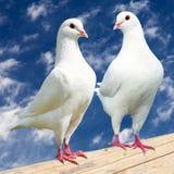 Taube mit zwei Weiß - Kaiser-taube Stockfoto