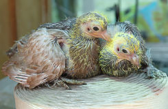 Taube Nestling wenig Lizenzfreie Stockfotos